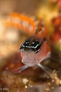 A Blenny in Bunaken. by Mehmet Salih Bilal